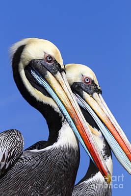 Pelican Perfection Art Print by James Brunker