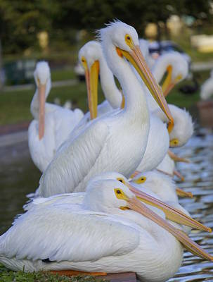 Photograph - Pelican Pile by Laurie Perry