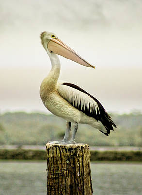 Pelican Poise Art Print by Holly Kempe