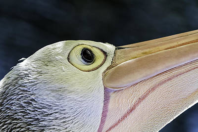 Pelican Portrait 2 Art Print