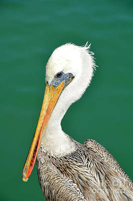Photograph - Pelican Portrait by Debra Thompson