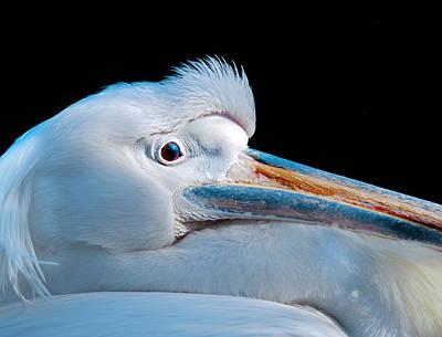White Pelicans Photograph - Pelican Portrait by Mark Rogan