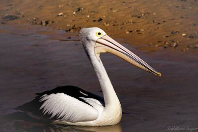 Photograph - Pelican Portrait by Wallaroo Images