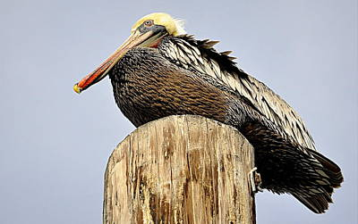 Photograph - Pelican Post by AJ  Schibig