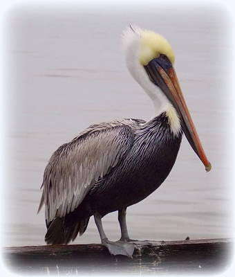 Photograph - Pelican Profile 1 by Sheri McLeroy