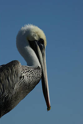 Pelican Photograph - Pelican Profile 2 by Ernie Echols