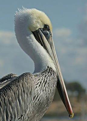 Pelican Photograph - Pelican Profile 3 by Ernie Echols