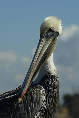 Pelican Photograph - Pelican Profile by Ernie Echols