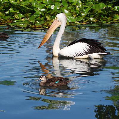 Australia Photograph - Pelican by Qing Yang