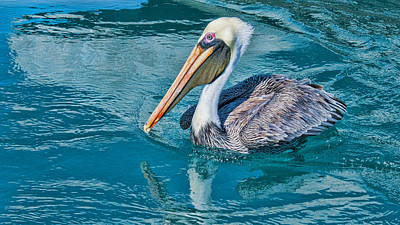 Photograph - Pelican Reflection by Don Durfee