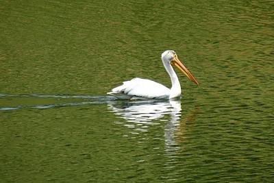 Photograph - Pelican Reflection On Lake by Marilyn Burton