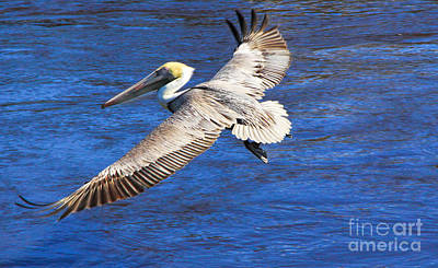 Photograph - Pelican by Richard Lynch