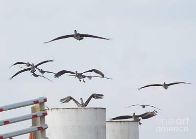 Photograph - Pelican Scramble by Audrey Van Tassell