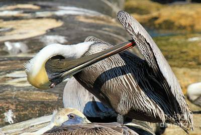 Photograph - Pelican Scratch by Adam Jewell