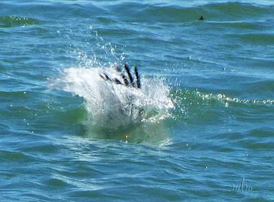 Photograph - Pelican Splash by Marie Morrisroe