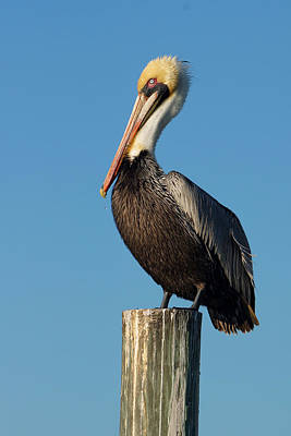 Photograph - Pelican Stand by Carmen Del Valle