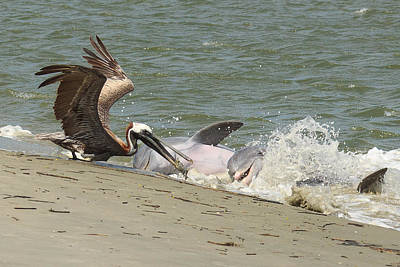 Pelican Steals The Fish Art Print by Patricia Schaefer