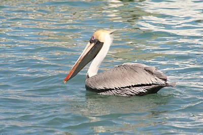 Photograph - Pelican by Stephanie  Kriza
