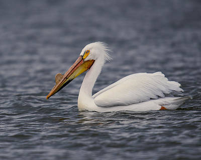 Photograph - Pelican by Steve Thompson