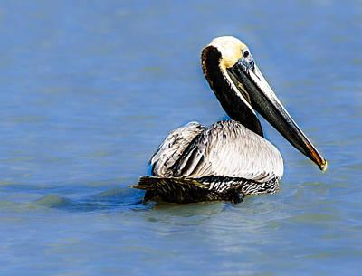 Pelican Swimming Art Print