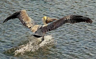 Pelican Take Off Art Print by Paulette Thomas