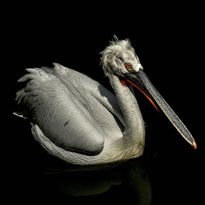 Winter Animals Rights Managed Images - Pelican Royalty-Free Image by TouTouke A Y