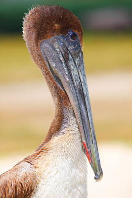 Pelican Up Close At Dry Tortugas National Park Art Print