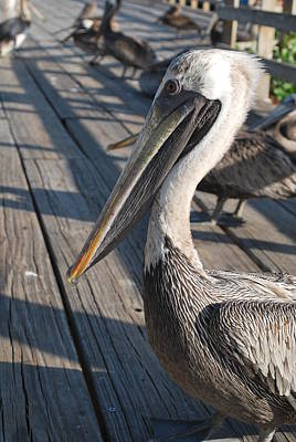 Photograph - Pelican Watch by Catherine Kurchinski