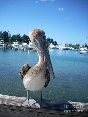 Photograph - Pelicano Posando by Iris  Mora