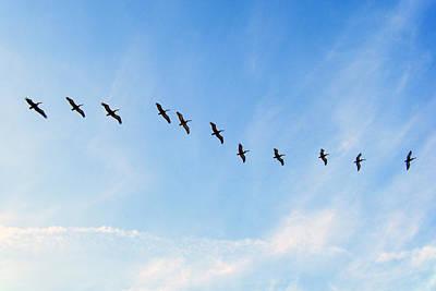 Photograph - Pelicans by Adam Johnson