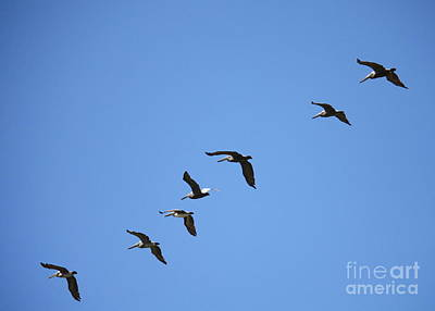 Photograph - Pelicans All In A Row by Carol Groenen