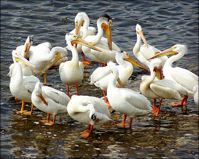 Appleton Photograph - Pelicans Along The Fox River by Carol Toepke