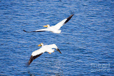 Steven Krull Royalty-Free and Rights-Managed Images - Pelicans and Blue Heron at Chatfield Reservoir by Steven Krull