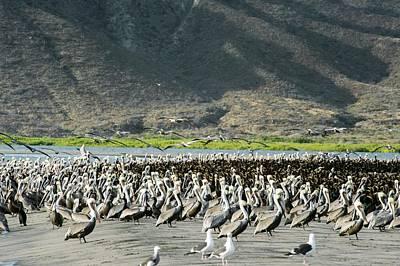 Phalacrocorax Auritus Photograph - Pelicans And Cormorants On A Beach by Christopher Swann