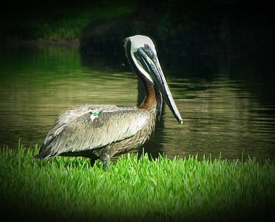 Photograph - Pelicans Are Free by MTBobbins Photography