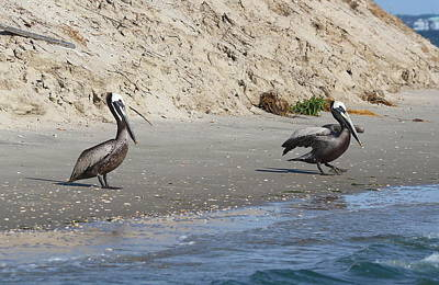 Genus Photograph - Pelicans At Bird Island by Cathy Lindsey