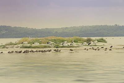 Photograph - Pelicans At Poddy Shot by Elaine Teague