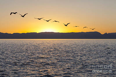 Photograph - Pelicans At Sunset Sea Of Cortez by Liz Leyden