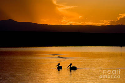 Steven Krull Royalty-Free and Rights-Managed Images - Pelicans at Sunset by Steven Krull