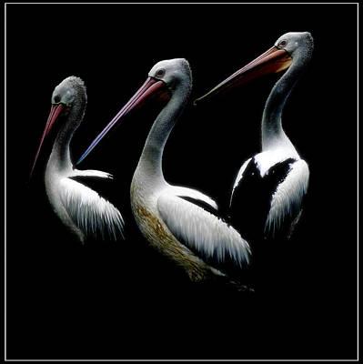 Pelicans Dark Art Print