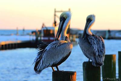 Photograph - Pelicans  by Debra Forand