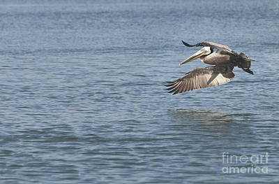 Pelican Photograph - Pelicans Flight by David Millenheft