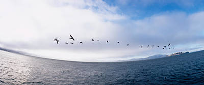 Of Birds Photograph - Pelicans Flying Over The Sea, Alcatraz by Panoramic Images