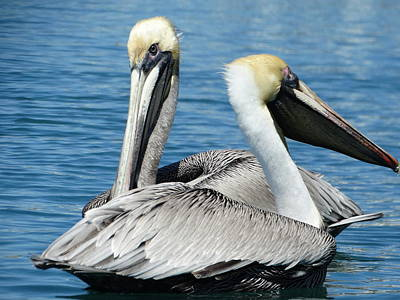Photograph - Pelicans by Frederic BONNEAU Photography