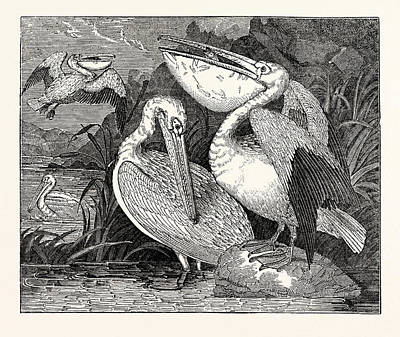 Pelican Drawing - Pelicans From Specimens In The Gardens Of The Zoological by English School