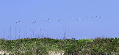 Genus Photograph - Pelicans In A Row 10 by Cathy Lindsey