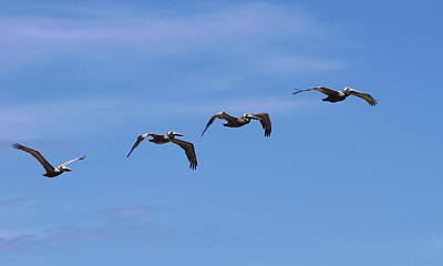 Bird Photograph - Pelicans In A Row 2 by Cathy Lindsey