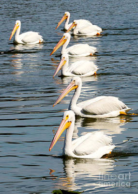 Photograph - Pelicans In A Row by Carol Groenen