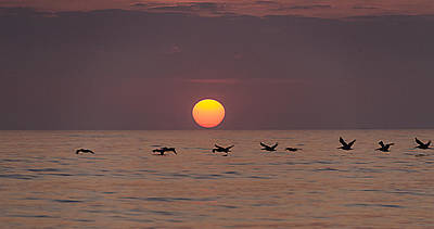 Pelicans In A Row Art Print by  Island Sunrise and Sunsets Pieter Jordaan