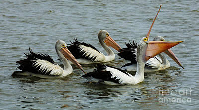 Photograph - Pelicans In Australia 2 by Bob Christopher